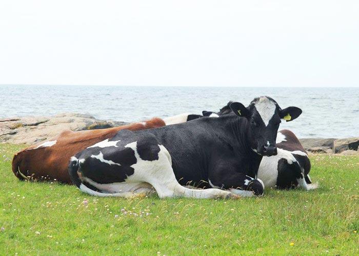 Kor som ligger i gräset med havet i bakgrunden.