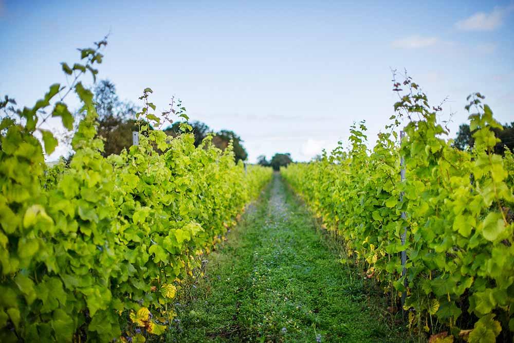 Vinrankor i långa rader.