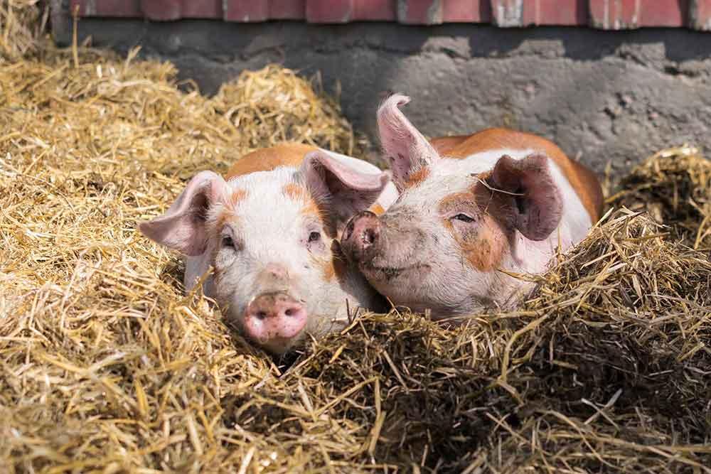 Tvår små grisar som ligger i halm.