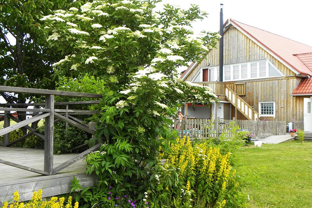 Buskar med blommande fläder, i bakgrunden ett stort träfärgat hus.