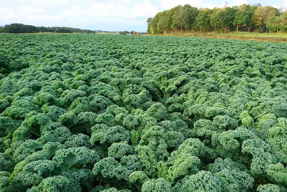 Fält med grönkål.