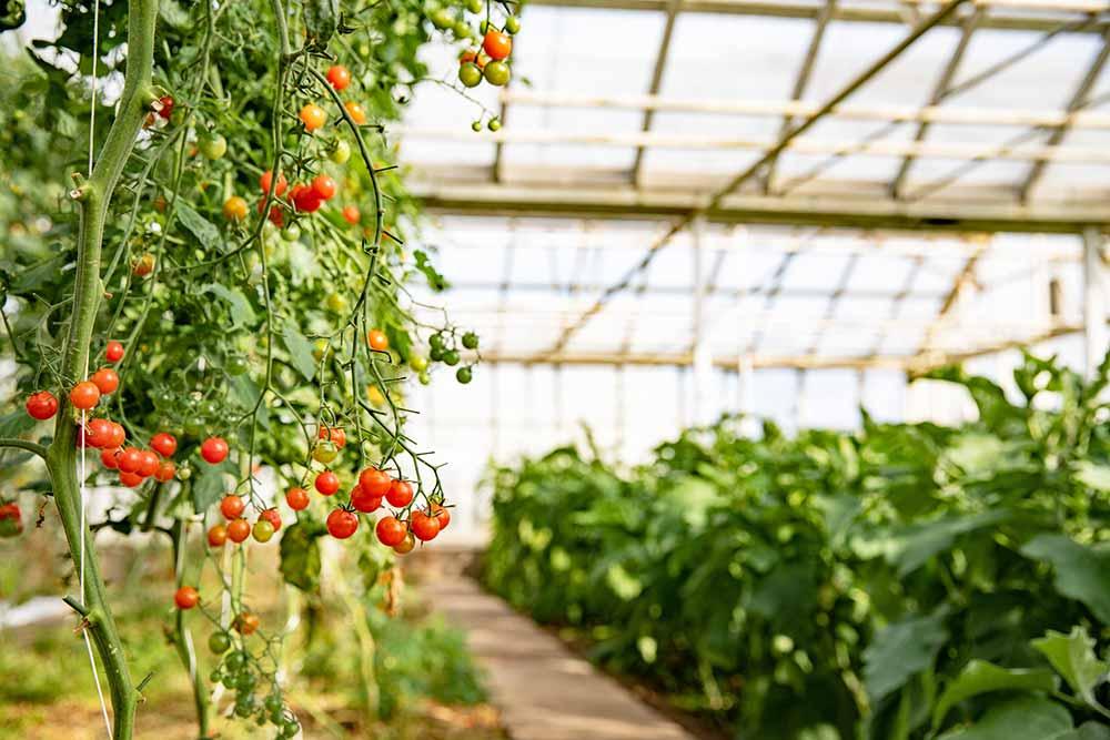 Tomater och gröna växter i ett växthus.