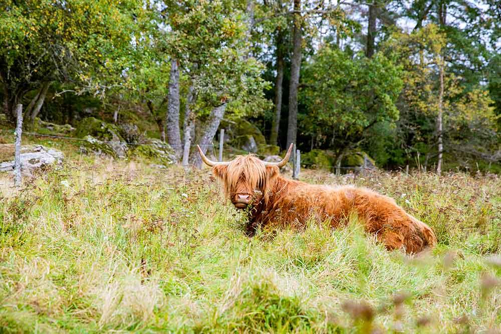 En Highland Cattle ko ligger i gräs.